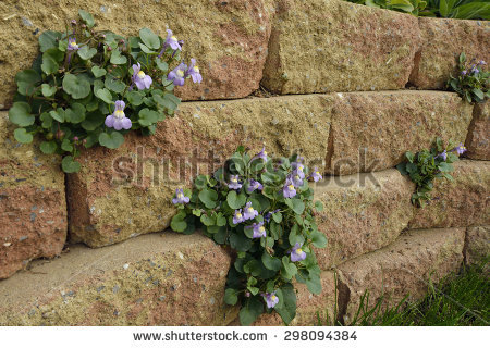 Cymbalaria Muralis Stock Images, Royalty.