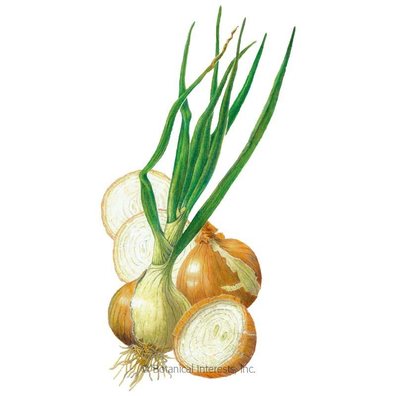 Walla Walla Bulb Onion Seeds.