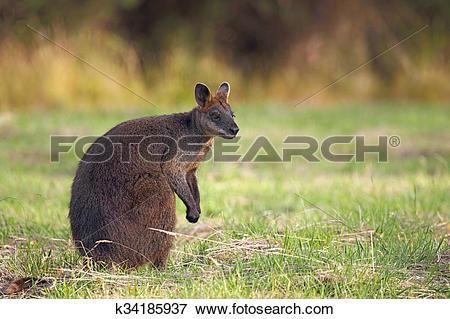Picture of Swamp Wallaby (Wallabia bicolor) k34185937.