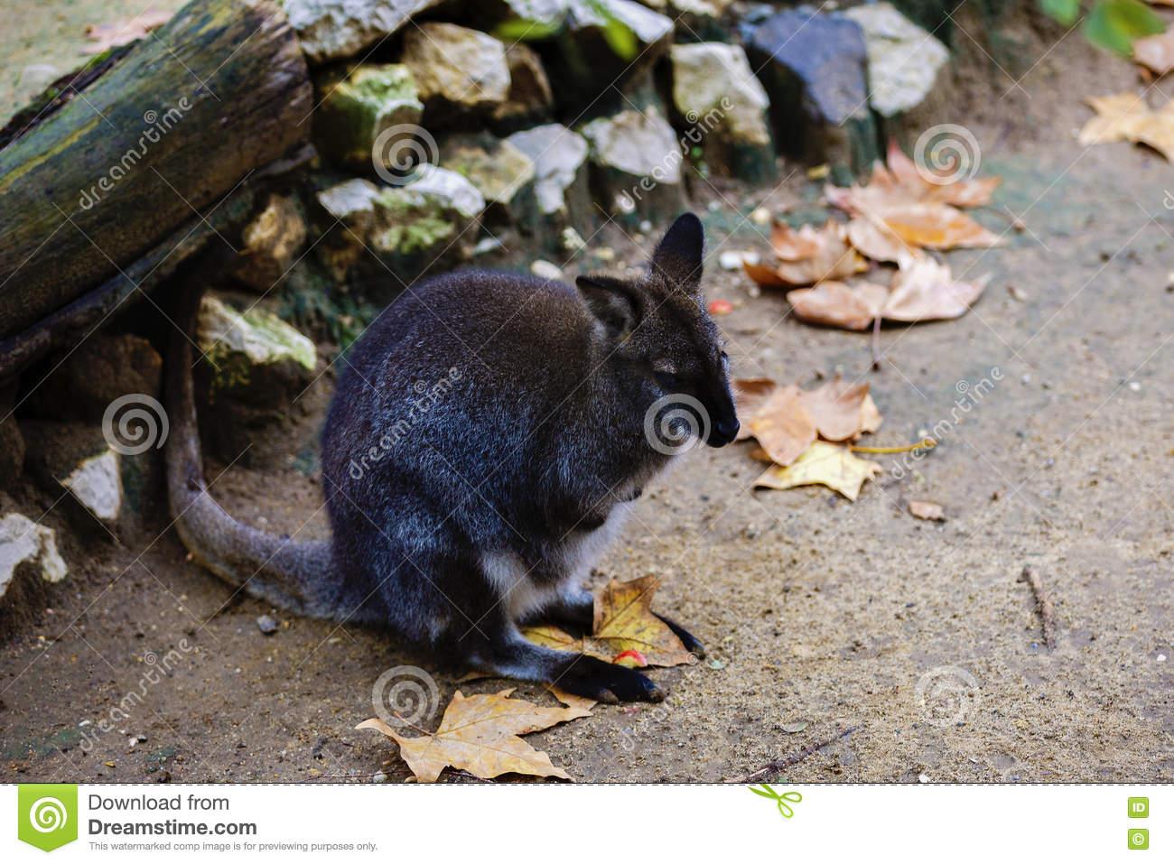 Swamp Wallaby, Wallabia Bicolor, Is A Small Macropod Marsupial O.