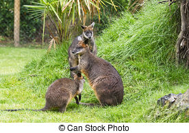 Stock Photo of Swamp Wallaby (Wallabia bicolor) sitting on a.