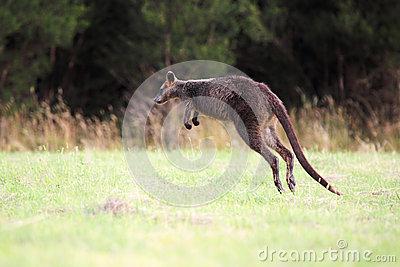 Swamp Wallaby, Australia Royalty Free Stock Photos.