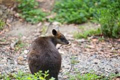 Swamp Wallaby (Wallabia Bicolor), Also Known As The Black Wallab.