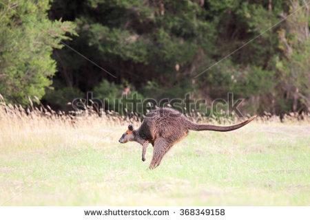 """black Wallaby"""" Lizenzfreie Bilder und Vektorgrafiken kaufen."""