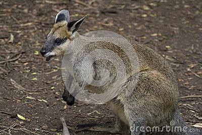 Northern Swamp Wallaby (Wallabia Bicolor) Stock Image.