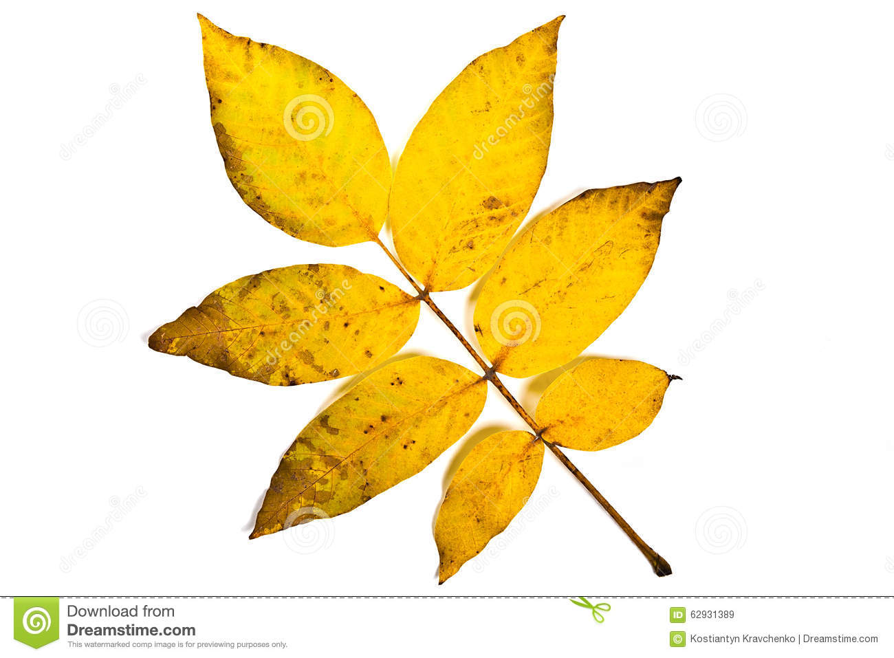 Natural Background With Walnut Leaf Royalty Free Stock Image.