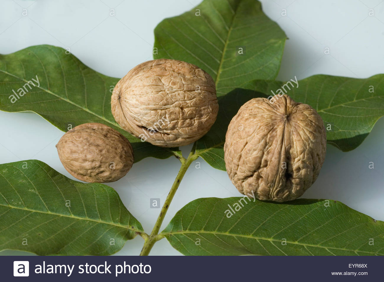 Walnuesse, Walnuss, Walnussbaum, Juglans Regia, Nuss Stock Photo.