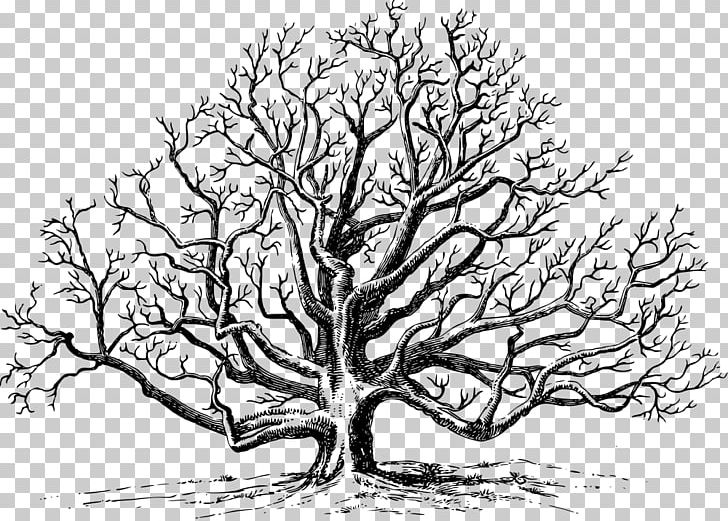 Eastern Black Walnut Tree English Walnut PNG, Clipart.