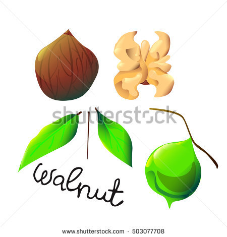 "walnut Cartoon"" Stock Photos, Royalty."