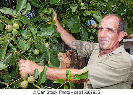 Stock Photos of Walnut tree with farmer.