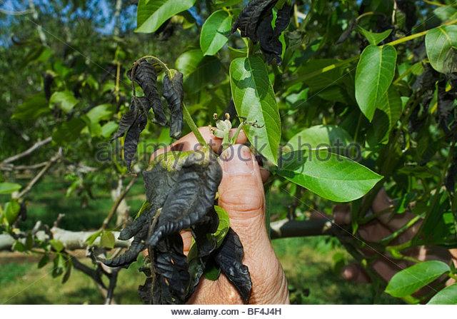 Walnut Tree Stock Photos & Walnut Tree Stock Images.