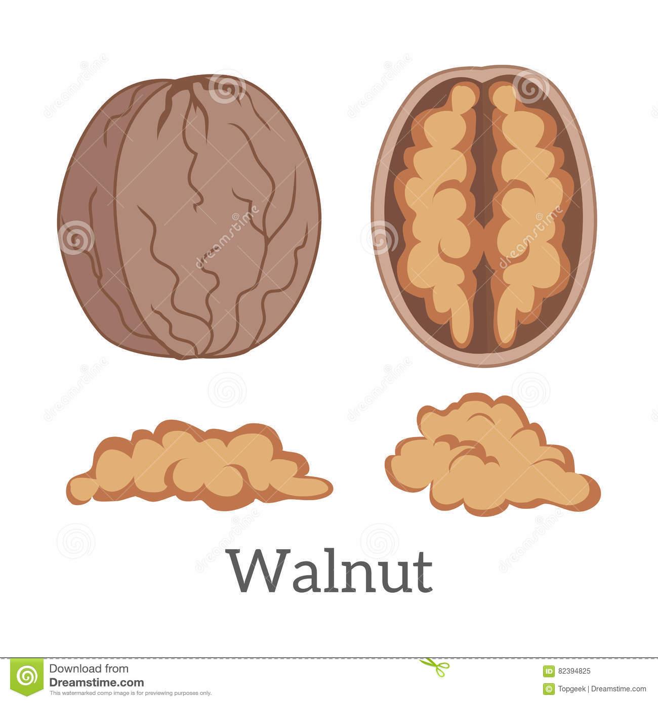 Illustration Of Walnut Kernels Stock Vector.
