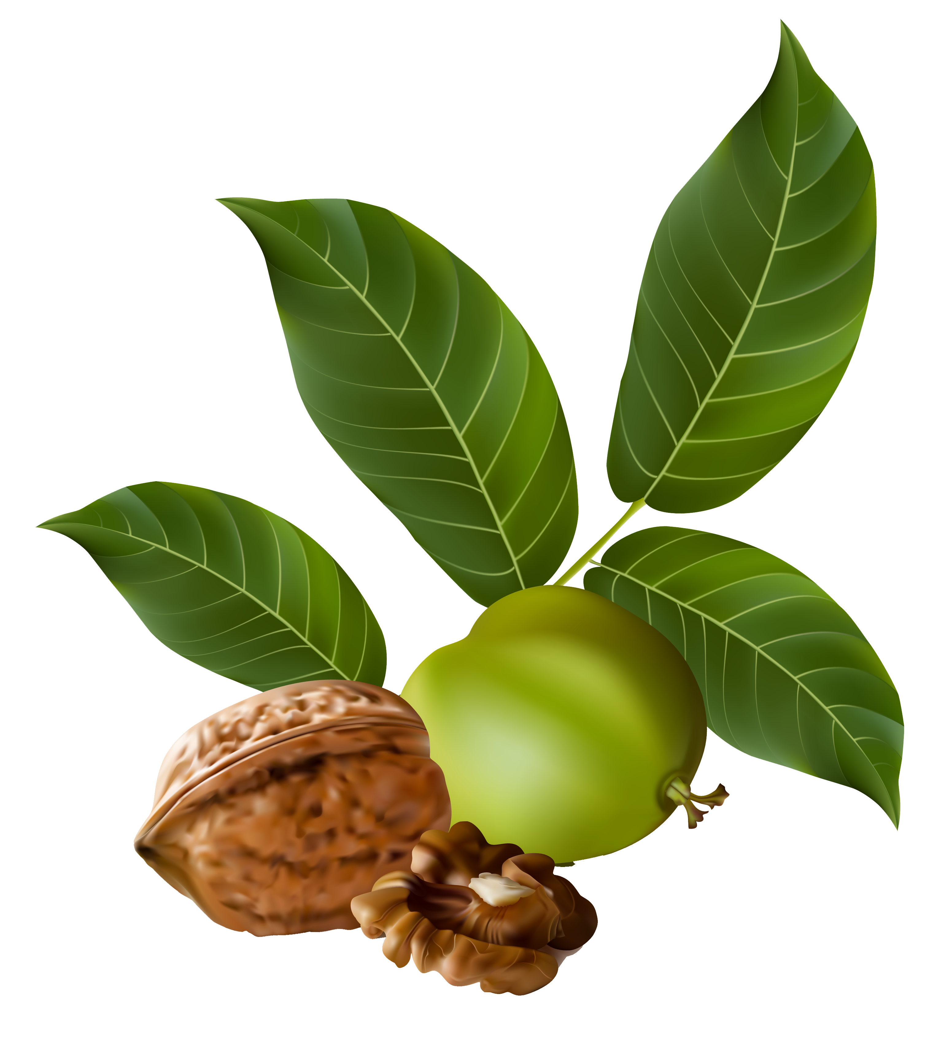 Walnut PNG Clipart Picture.