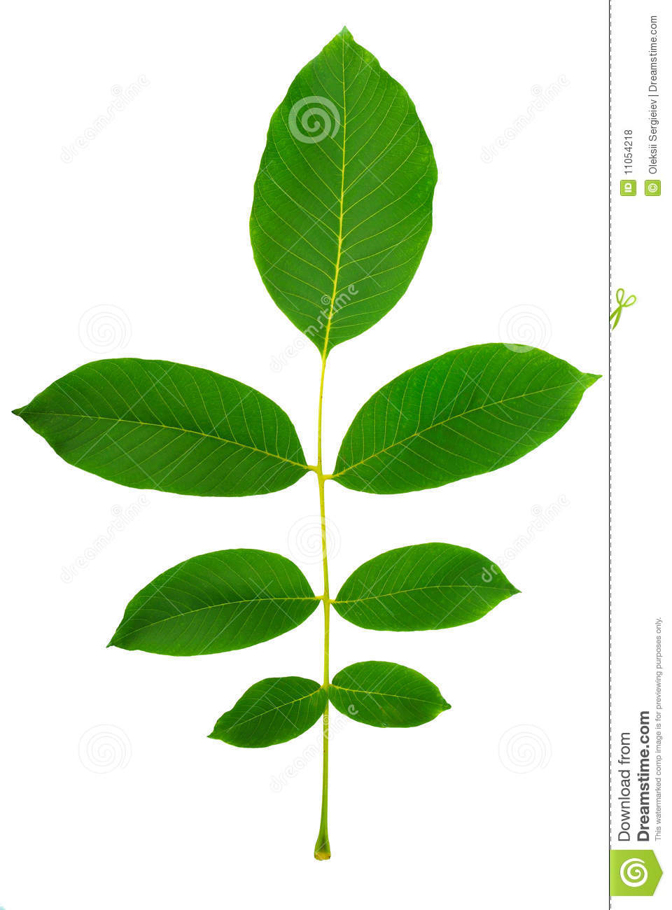 Gallery For > Walnut Leaf Clipart Microsoft.