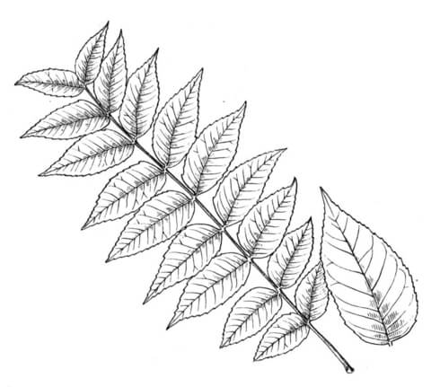 Walnut Leaflet coloring page.