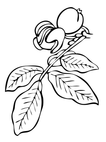 Walnut Tree Branch coloring page.