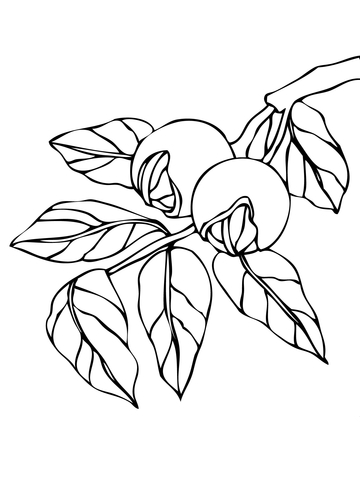 Walnut Branchlet coloring page.