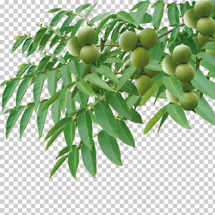 English walnut Tree Auglis, Walnut tree PNG clipart.