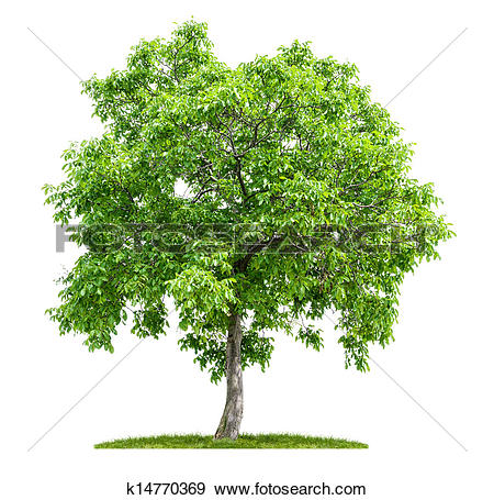 Stock Photograph of isolated walnut tree on a white background.