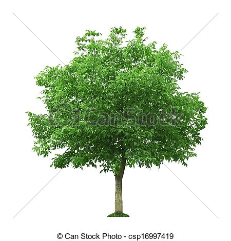 Stock Photography of walnut tree isolated on white csp16997419.