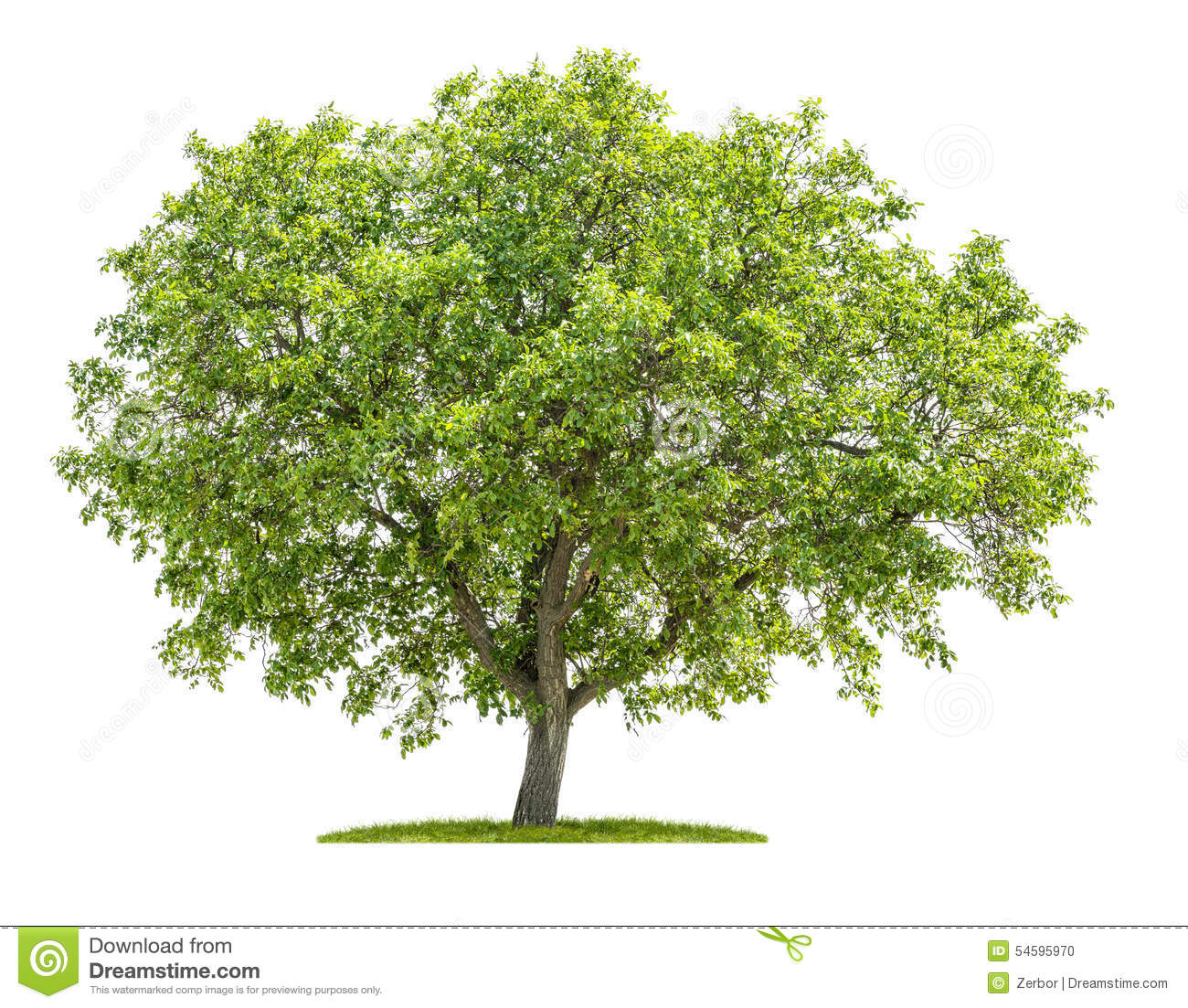 Walnut Tree On A White Background Stock Photo.