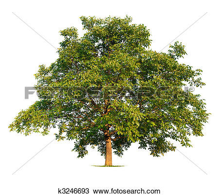 Walnut tree Stock Photo Images. 7,909 walnut tree royalty free.