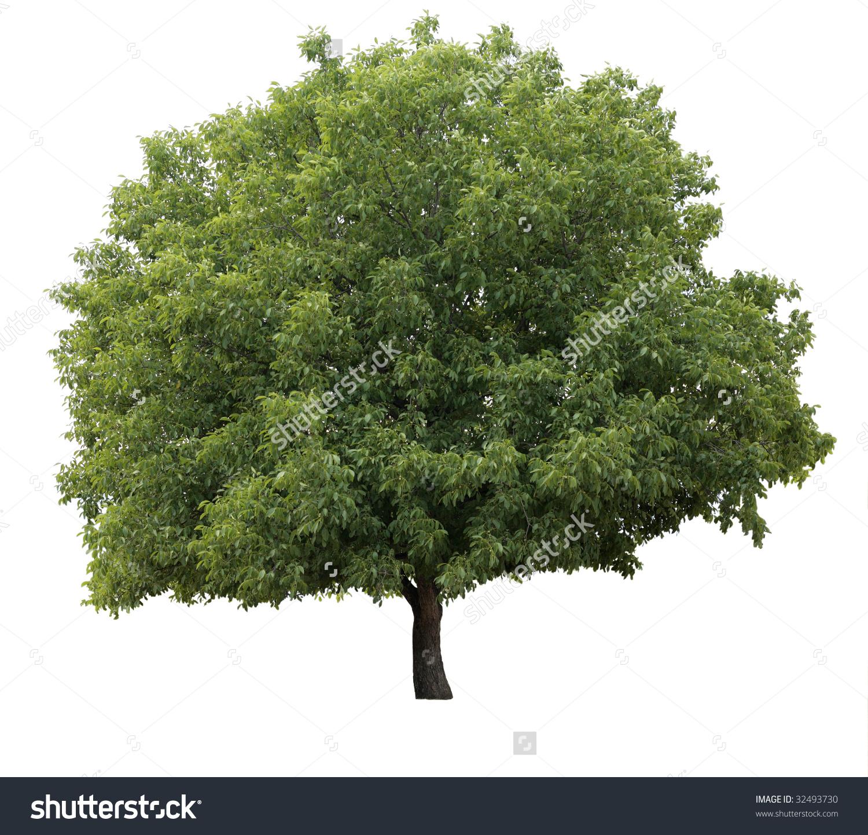Isolated Walnut Tree Stock Photo 32493730.