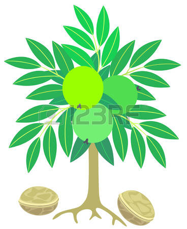 2,024 Walnut Tree Stock Vector Illustration And Royalty Free.