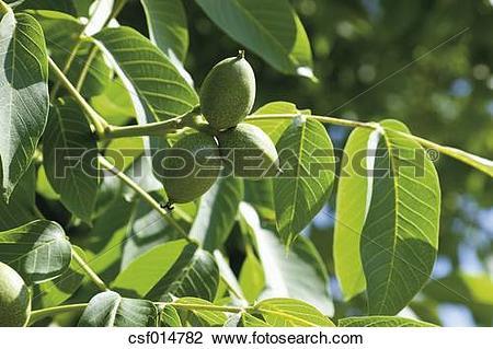 Stock Photo of Walnut tree, close up csf014782.