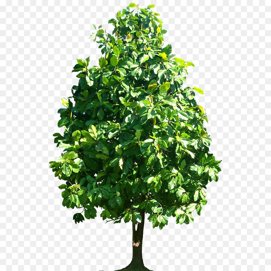 Walnut Tree clipart.