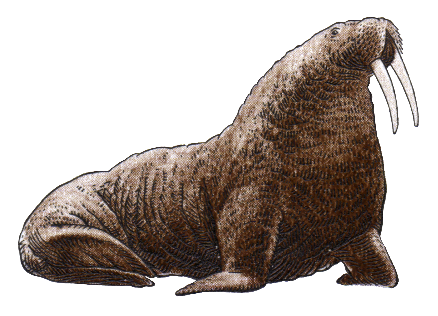 Walrus PNG Image File.