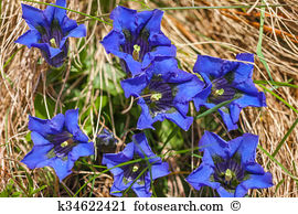 Gentiana acaulis Stock Photos and Images. 39 gentiana acaulis.
