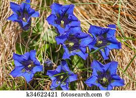 Gentiana acaulis Stock Photos and Images. 39 gentiana acaulis.