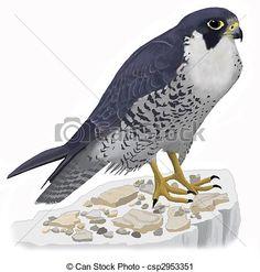 Peregrine falcon drawing.