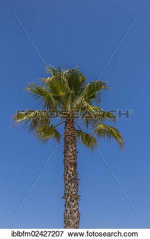 "Picture of ""Washington Palm (Washingtonia robusta), Lagos, Algarve."