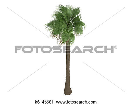 Clipart of Desert Fan Palm or Washingtonia filifera k6145581.
