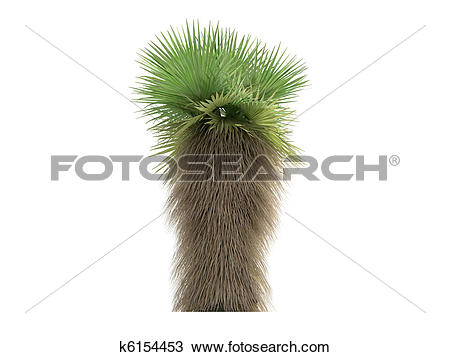 Drawing of Desert Fan Palm or Washingtonia filifera k6154453.