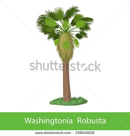 Washingtonia Robusta Stock Vectors & Vector Clip Art.