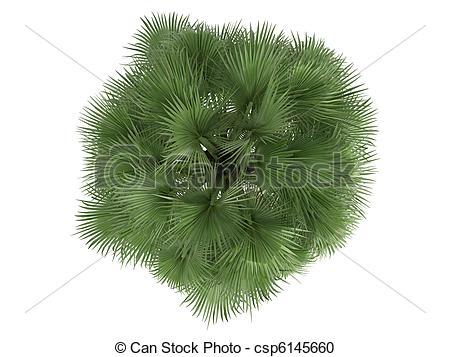 Stock Illustration of Desert Fan Palm or Washingtonia filifera.