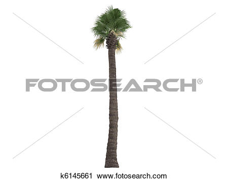 Clipart of Desert Fan Palm or Washingtonia filifera k6145661.