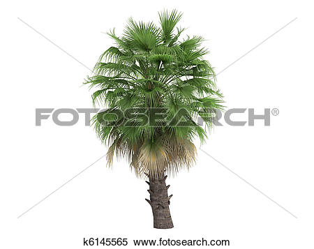 Stock Illustration of Desert Fan Palm or Washingtonia filifera.