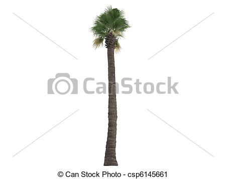 Clipart of Desert Fan Palm or Washingtonia filifera.