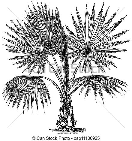 Vector Illustration of Plant Washingtonia filifera (California Fan.