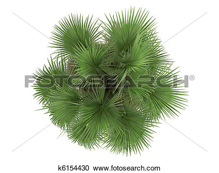 Stock Illustrations of Desert Fan Palm or Washingtonia filifera.