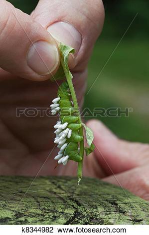 Stock Photo of Tomato Hornworm Larvae with Wasp Pupae Parasites.
