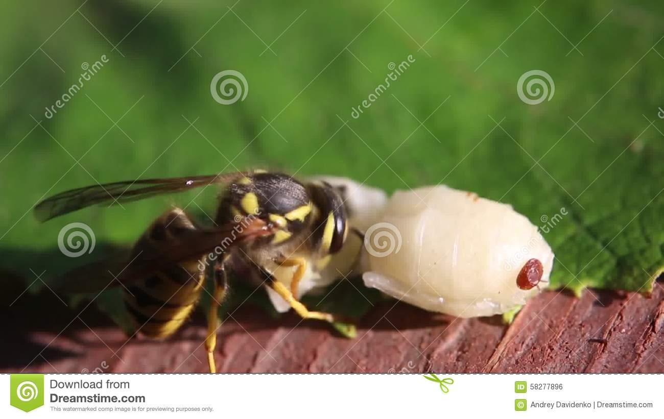 Varroa Mite, Larva And Drone Wasp. Stock Footage.