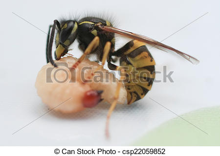 Stock Images of the wasp eats a larva of a worm.