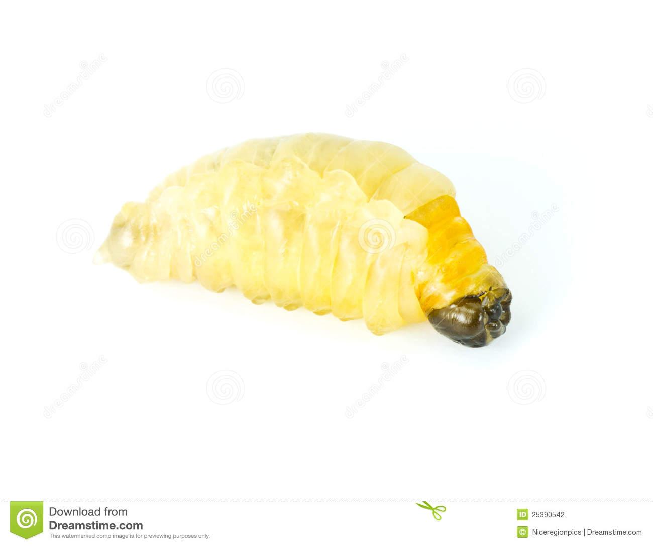 Wasp Larvae. Stock Photography.