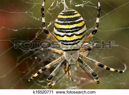Stock Photography of Wasp spider k16520771.