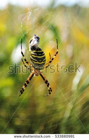 Wasp Spider Stock Photos, Royalty.